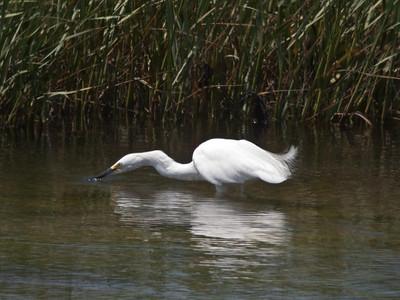 Snowy Egret 7-7-11 SDRiver