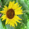 Sun Flower, Temecula Ca