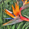Bird ofParadise