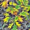 Autumn Leaves, Temecula Ca
