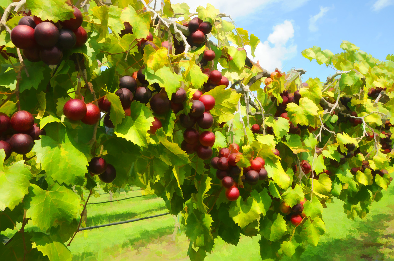 Grapes ready for picking