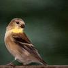 Goldfinch in oil