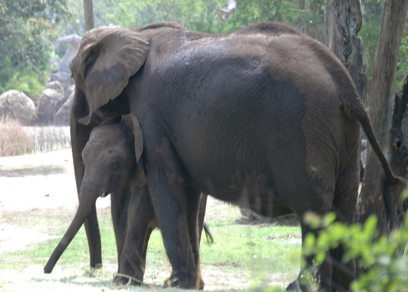 Elephants on the Safari Ride at the Animal Kingdom