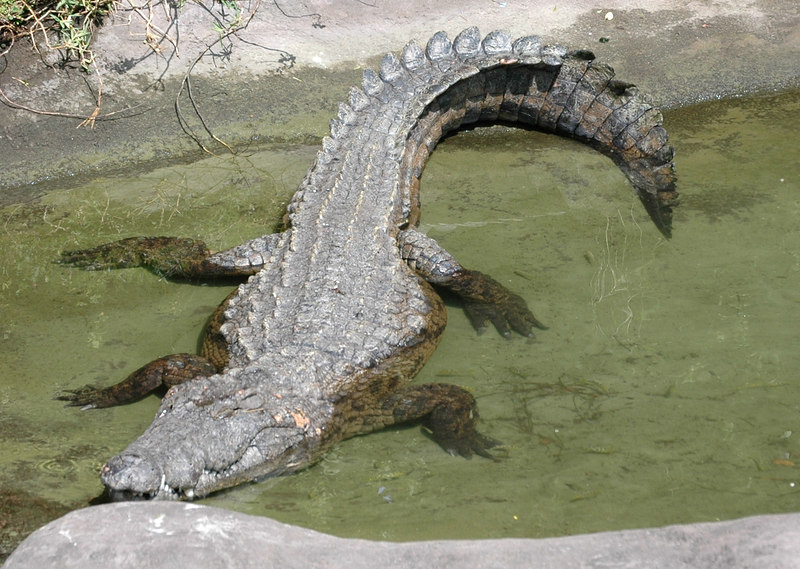 Aligator on Safari at the Animal Kingdom
