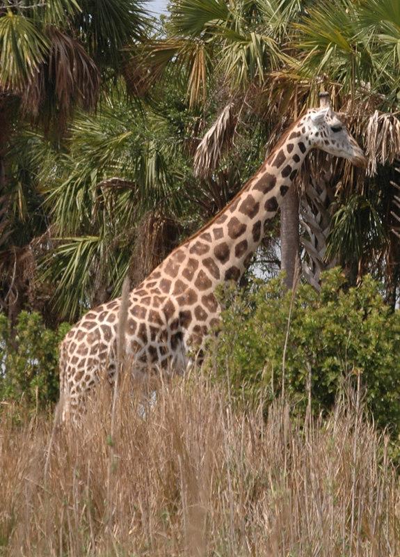 Giraffe at the Animal Kingdom