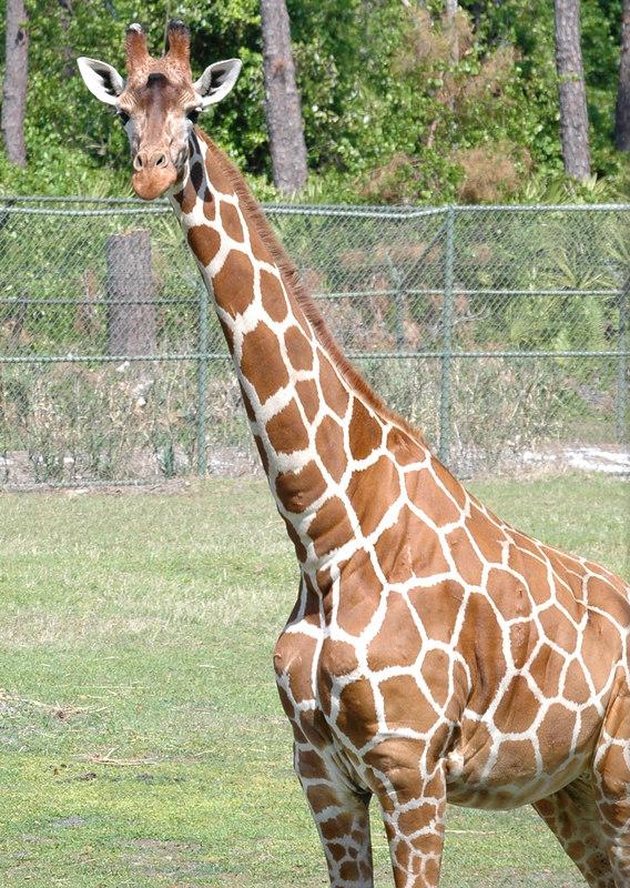 Giraffe at the Animal Kingdom Lodge