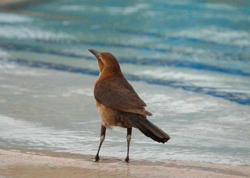 Bird bathing in the pool