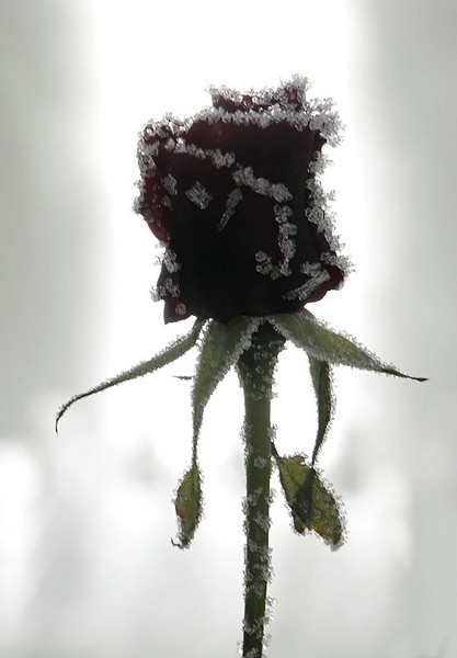 A frozen rose in the Wedding Chapel in the Ice Hotel in Alta. There is always -5 inside the hotel.