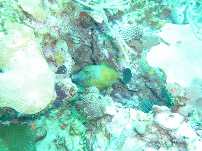 White Spotted Filefish - I was experimenting with a different exposure setting which made these images excessively bright.