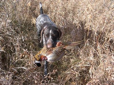 Bringing the pheasant.