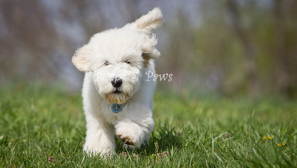 Dudley.   A goldendoodle? puppy at the dog park on 4/14/2011