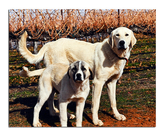 Hank (big) and Ramone, working dogs at the Shannon Ridge vineyards. Protecting the sheep.