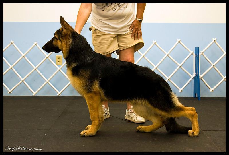 American German Shepherd