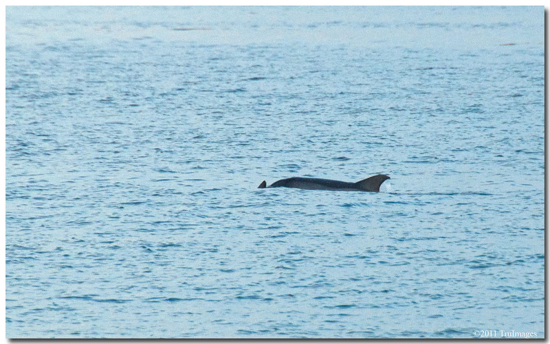 Jan 30<br /> Dolphins migrating