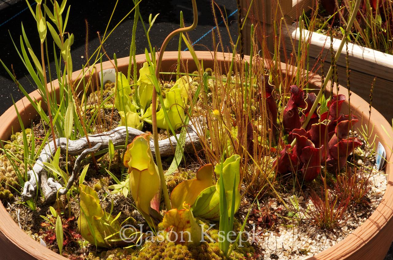 "Sarracenia purpurea, Northern Pitcher Plant, heterophylla, ""Phoenix"", and veinless; Jackson County, New Jersey  2013-07-14  #2"