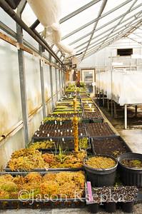 Carnivorous Plants; Rarefind Nursery, Jackson, New Jersey  2012-08-03  #44