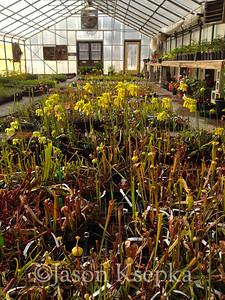 Carnivorous Plants; Rarefind Nursery, Jackson, New Jersey  2012-04-09  #11