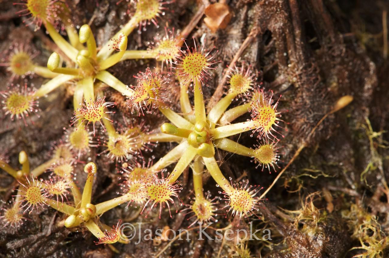 "Drosera x beleziana ""#4"" (Drosera intermedia, Paddle-leaved Sundew X Drosera rotundifolia, Round-leaf Sundew), breaking dormancy; Hamilton, New Jersey 2015-04-16"