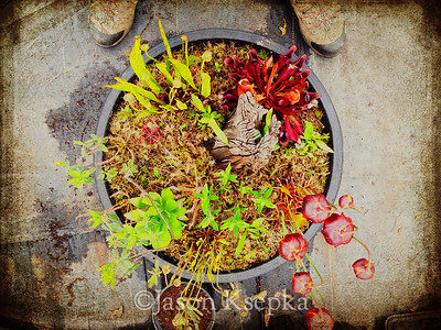 Bog Garden, Sarracenia species from Ocean County introduced site; Rarefind Nursery, Jackson, New Jersey