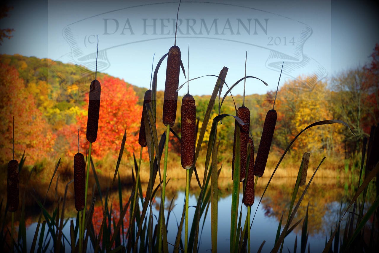 """Cattails""<br /> October 20, 2012"