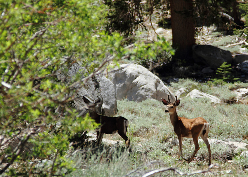 Deer in Onion Valley, Ca near Mt. Whitney