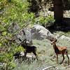Deer in Onion Valley, Ca near Mt. Whitney