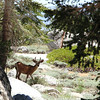 Oh Deer.., Mt Whitney, Ca