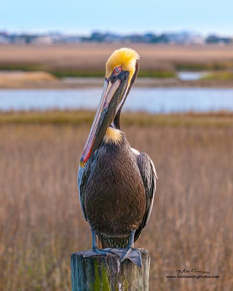 Pelican Yawn 16X20