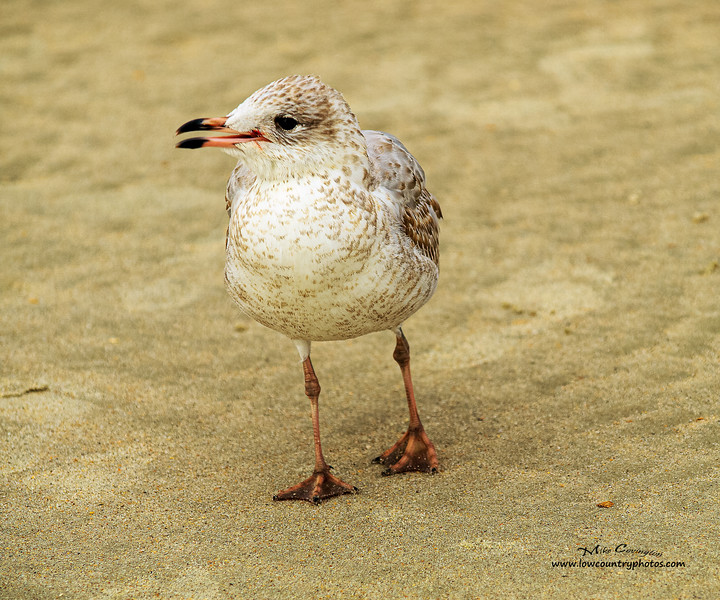 Young Ring Billed Gull 11X14
