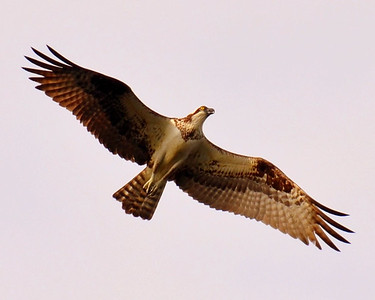 Osprey Over the Millpond