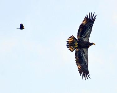 Juvenile Eagle and Nemesis