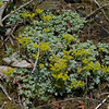 Broad-leaved stonecrop (Sedum spathulifolium) blooms on a sunny, rocky roadcut.