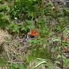 Pale swallowtail (Papilio eurymedon) pollinating a Pacific columbine (Aquilegia formosa)