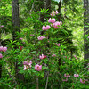 Pacific rhododendron (Rhododendron macrophyllum) was still in full bloom at this elevation. It had finished blooming in the lowlands a month ago.