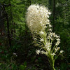 Bear grass (Xerophyllum tenax). Not really a grass; it's a relative of the yuccas found in warmer and sunnier climes.
