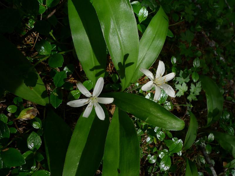 Bead lily (Clintonia uniflora).
