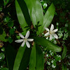 Bead lily (Clintonia uniflora).