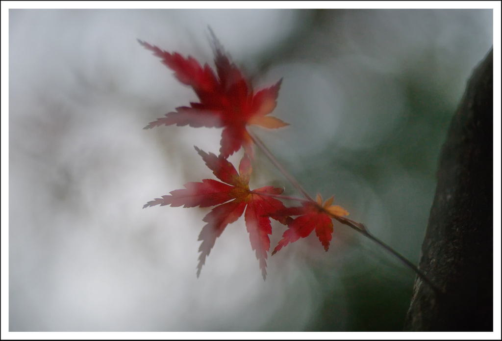 Maple leaves at Setagaya Kannon