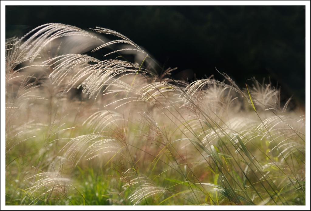 Wild pampas grass in Hakone.  2 exposures