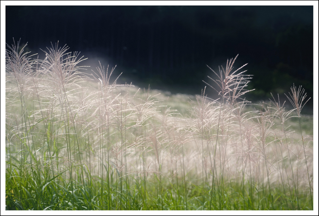 Pampas grass.  2 exposures