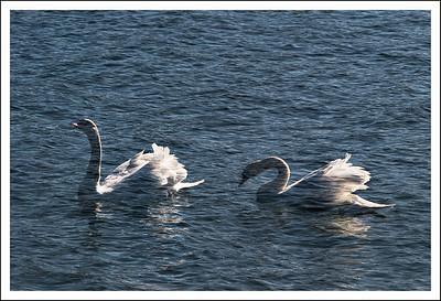 Swans on Lake Yamanaka