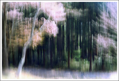 A wild cherry tree in the forest at Hakone.  This one is intentional camera movement, not multiple exposures.