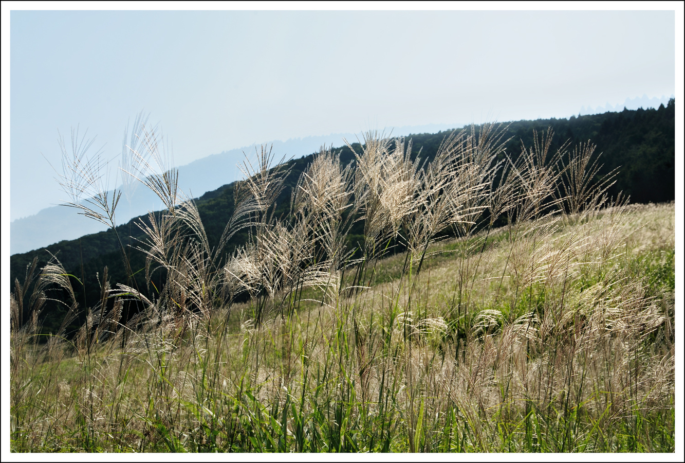 Double exposure.  Sengokuhara pampas grass field