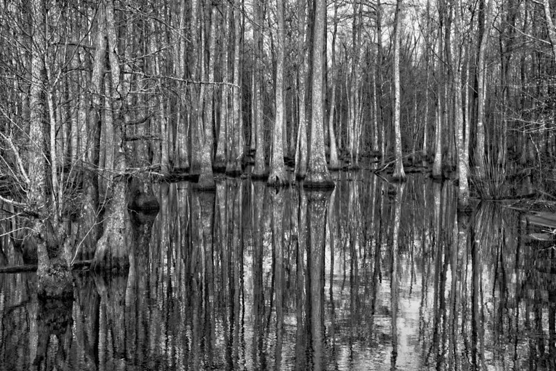 Cypress Trees on Robersonville Products Road near Everetts, NC