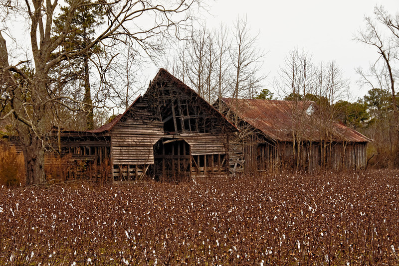 Barns and Cotton Field, Everetts, NC