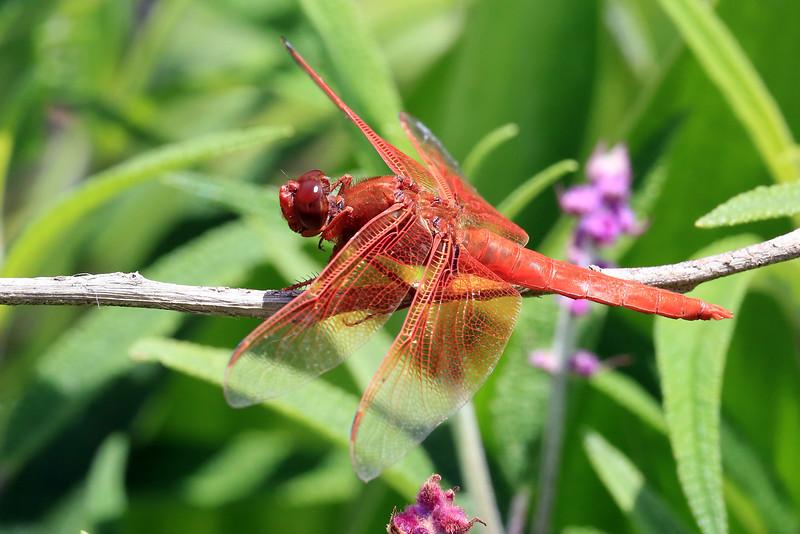 Flame Skimmer (Libellula saturata) dragonfly