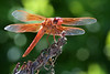 Flame Skimmer (Libellula saturata) dragonfly