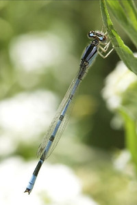Damselfly damselfly...come play with me