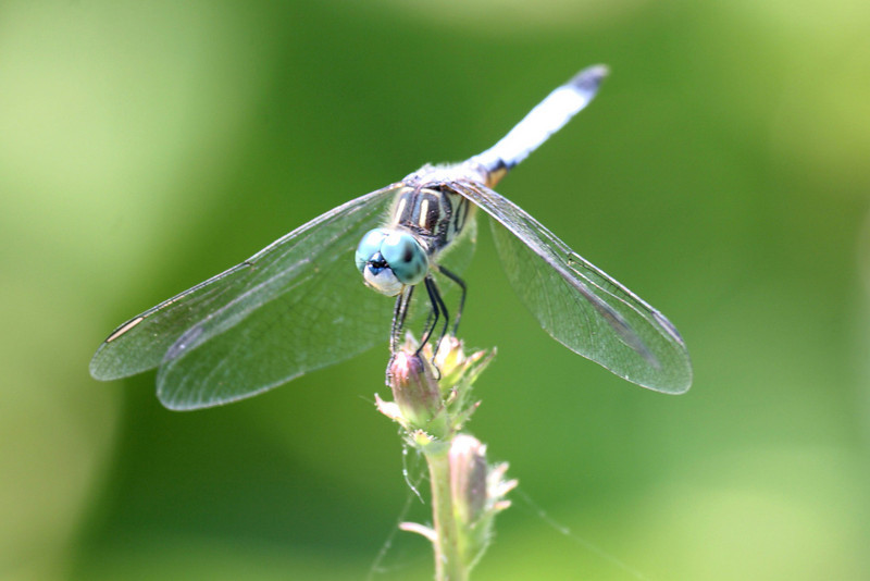 Helicoptor Dragonfly