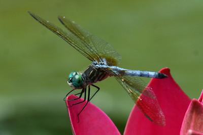 Blue Head Dragonfly Longwood Gardens Pennsylvania, USA